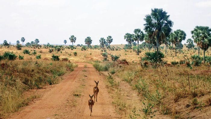 Two antelopes walk in front of the road in Murchison Falls National Park
