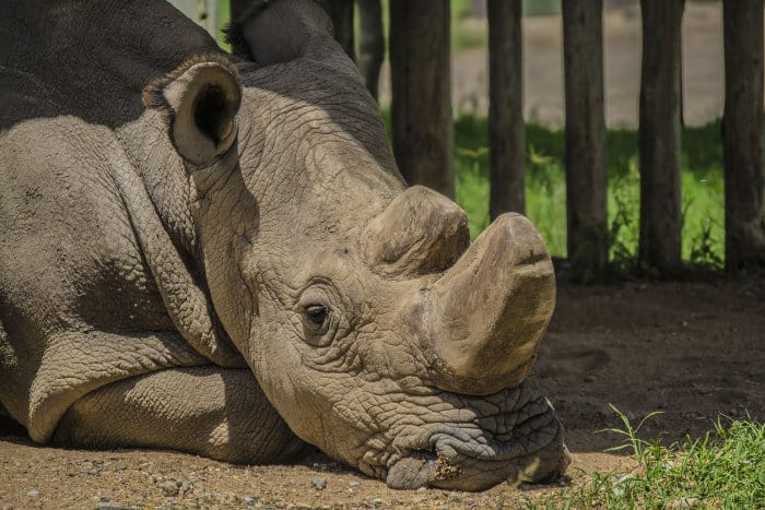 Sudan was the last male northern white rhino