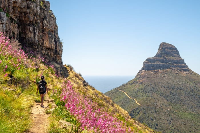 Typical vegetation hiking up Table Mountain, with Lion's Head on the far right