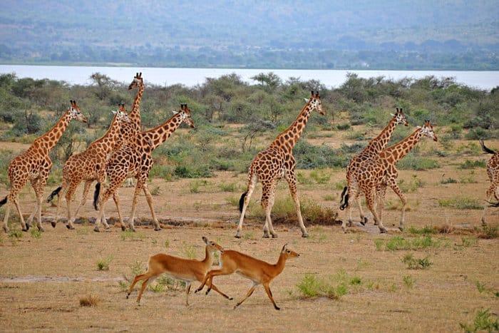 Ugandan kob and giraffe mingle across the plains of Murchison Falls