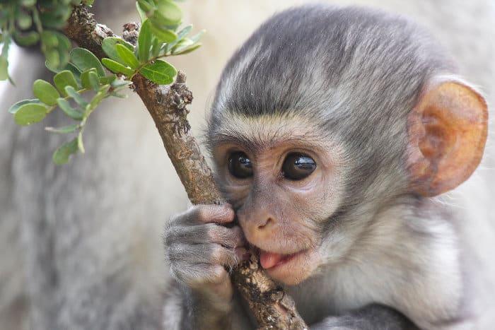 Baby vervet monkey holding onto a branch, Addo Elephant National Park