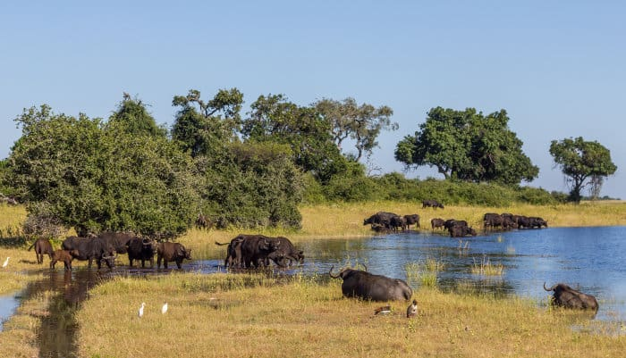 Buffalo herd drinking on the edge of the Chobe river in Botswana