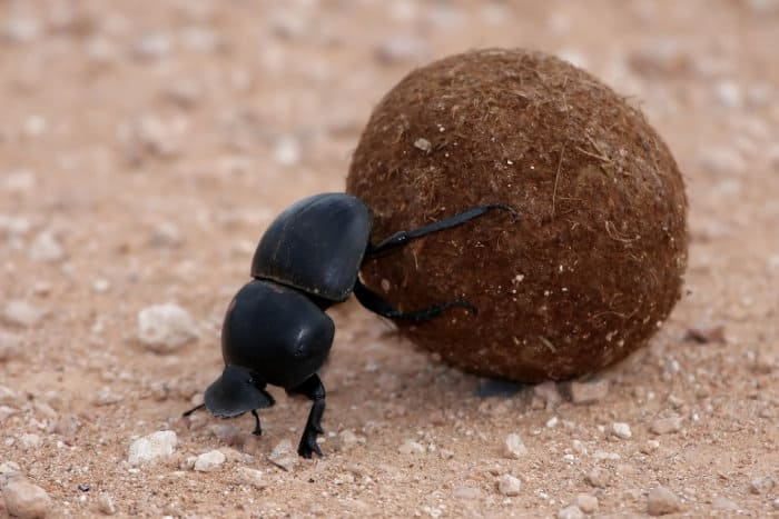 Dung beetle rolling a ball of dung to lay its eggs (in Addo Elephant Park)