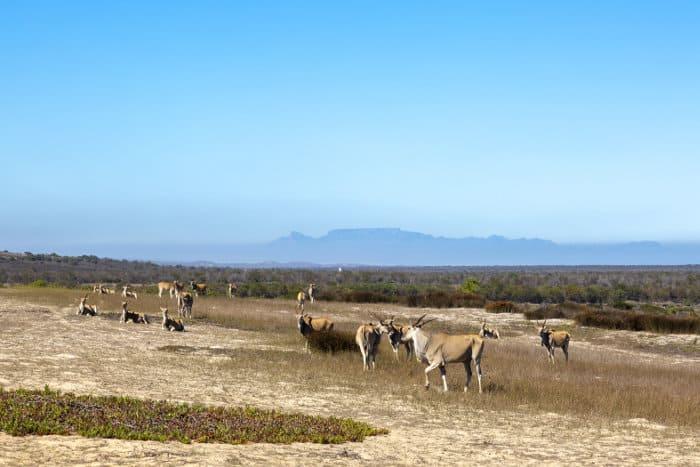 Eland at !Khwa ttu's San bushman cultural centre located on the West Coast
