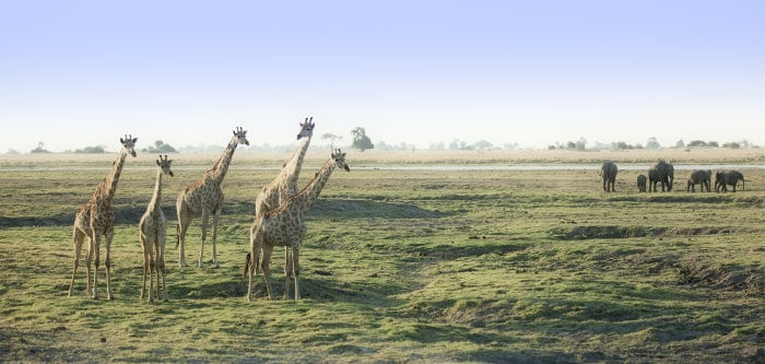 Elephants and giraffe are most abundant in Chobe National Park