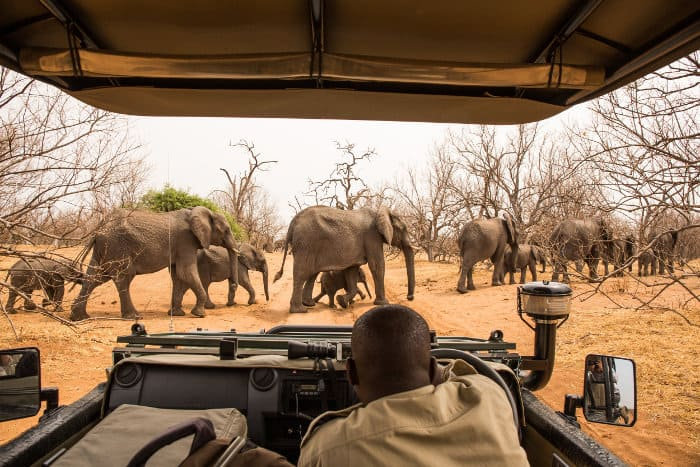 A big herd of elephants crosses the road in Chobe, in the midst of the dry season