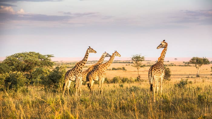 Four giraffes on a late afternoon game drive in the Mara