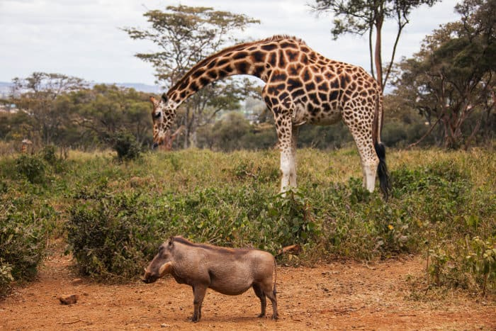 Rothschild's giraffes and warthogs share the same environment at the Giraffe Centre