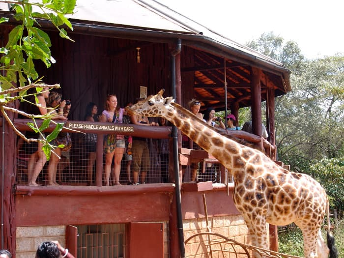 Wooden platform from which you can feed the Rothschild's giraffes