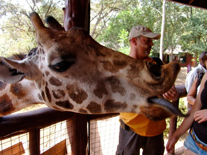 Hungry giraffe sticking its tongue out