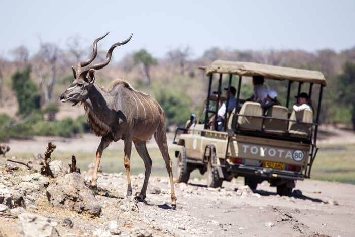 Big male kudu encountered on a game drive in Chobe