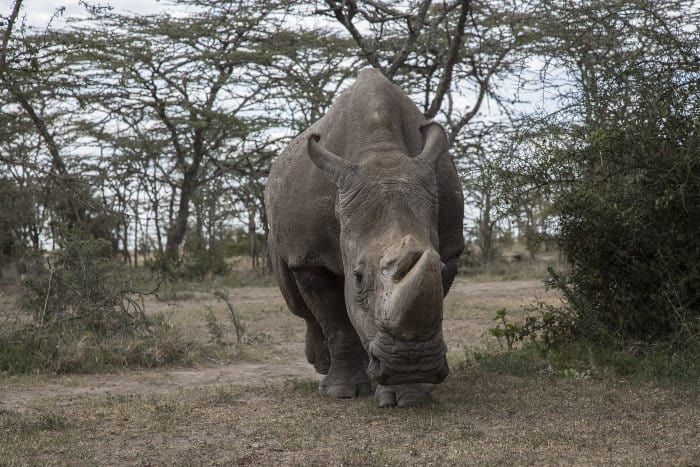 Sudan, the last male rhino of its own species