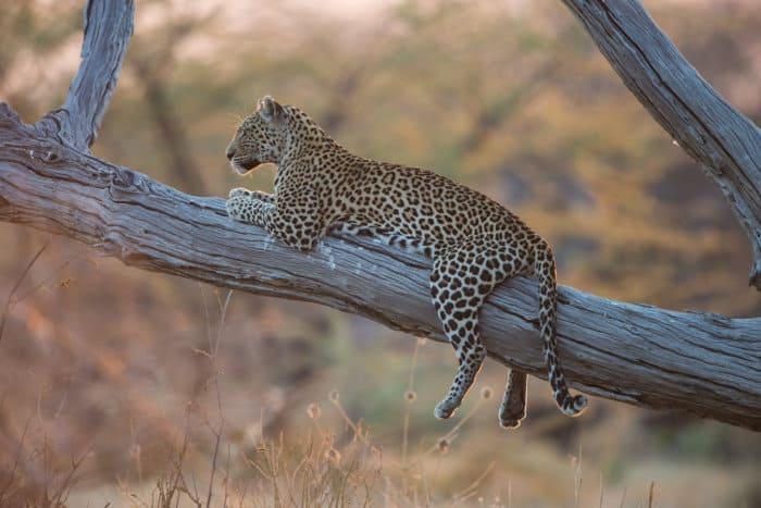 Leopard in tree in Savuti, Botswana