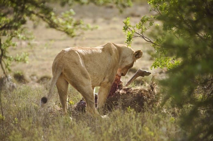 Lioness feeding on an ostrich