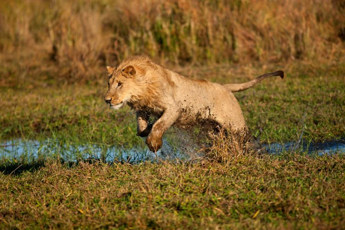 Young male lion running in water