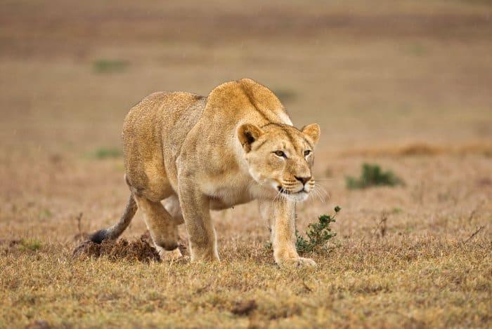 Lioness stalking its prey in light rain