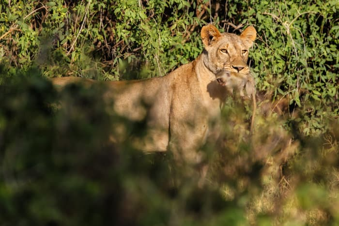 Lioness with baby vervet monkey in its mouth