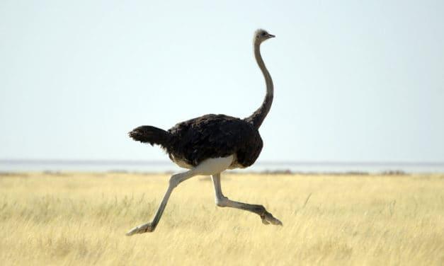 How fast can an ostrich run? 70 km/h!