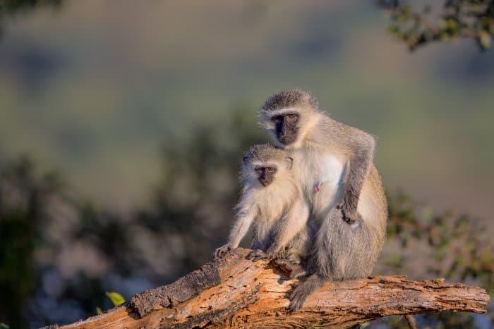 Mom and baby vervet monkeys posing in a tree