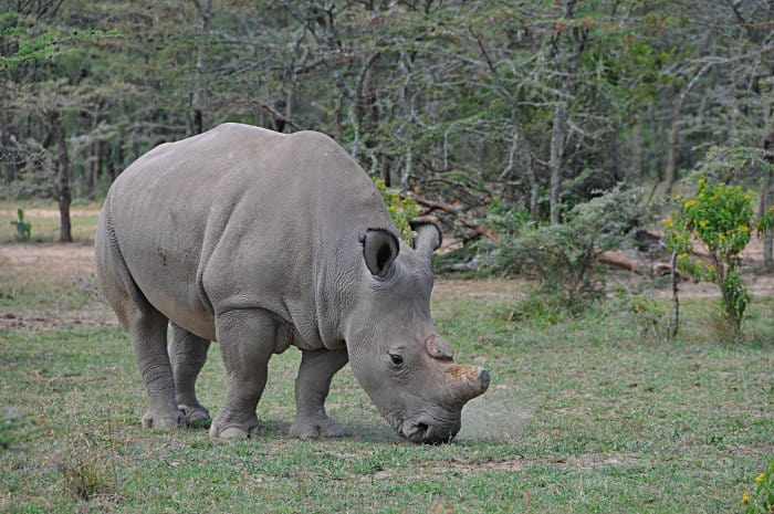 There are only two northern white rhinos left in the world