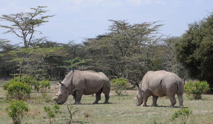 Northern white rhinos at Ol Pejeta in Kenya