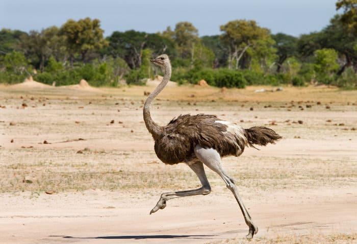 Ostrich running in Hwange, Zimbabwe