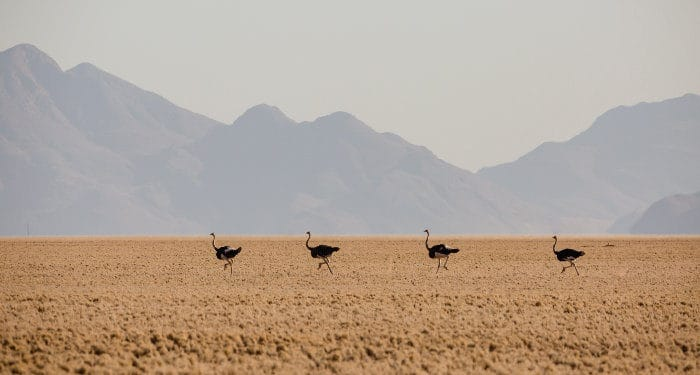 Herd of ostrich running through the Namibia Rand