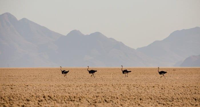 Herd of ostrich running through the NamibRand