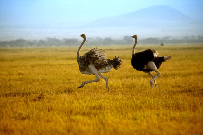 Ostrich running in Amboseli National Park