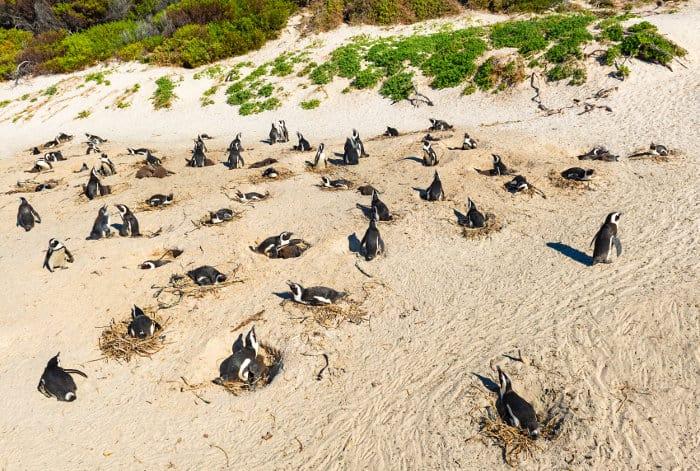 African penguin nesting site near Boulders Beach