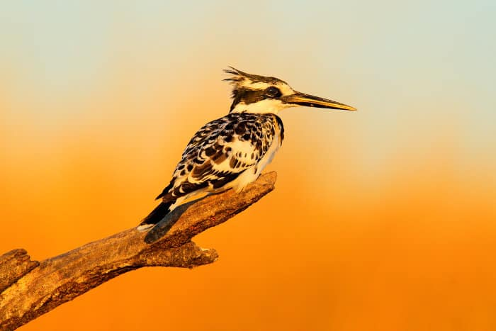 Pied kingfisher in early morning light