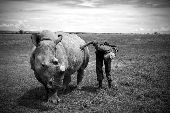 Northern white rhino and his keeper at Ol Pejeta
