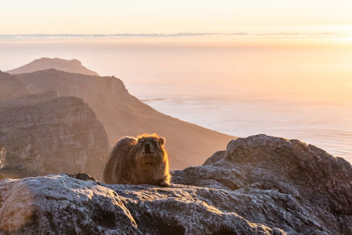 Rock hyrax on top of Table Mountain, in late afternoon sunlight
