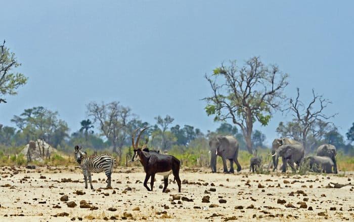 Sable antelope, elephants and zebra scene in Zimbabwe