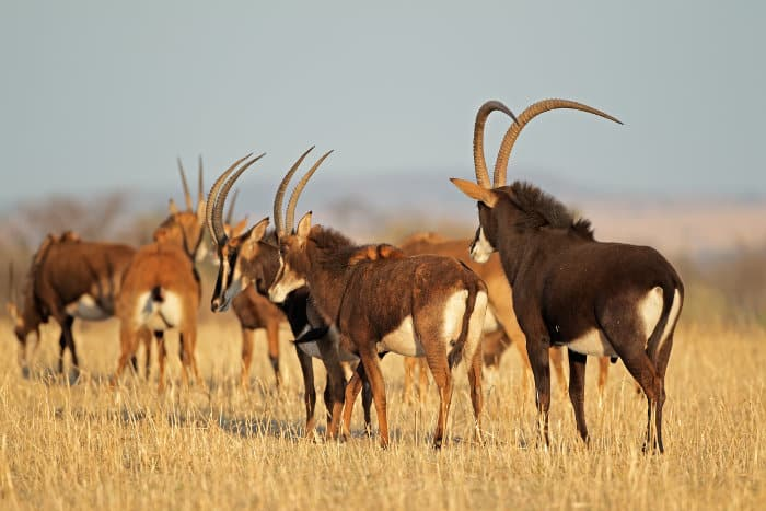 Small sable antelope herd, consisting of females and juveniles, along with a dominant male