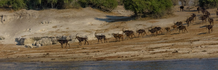 Sable antelope herd coming down to the Chobe river for a drink