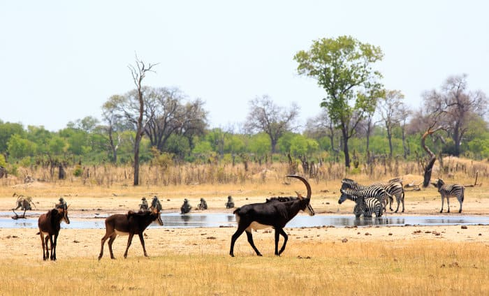 Typical wildlife scene in Hwange, with zebra, baboons and sable antelope interacting at a local waterhole