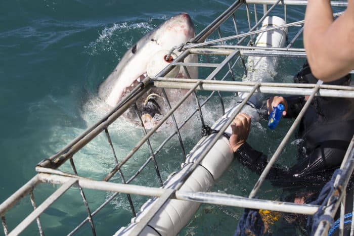 Great white shark getting up close to the cage in Gansbaai
