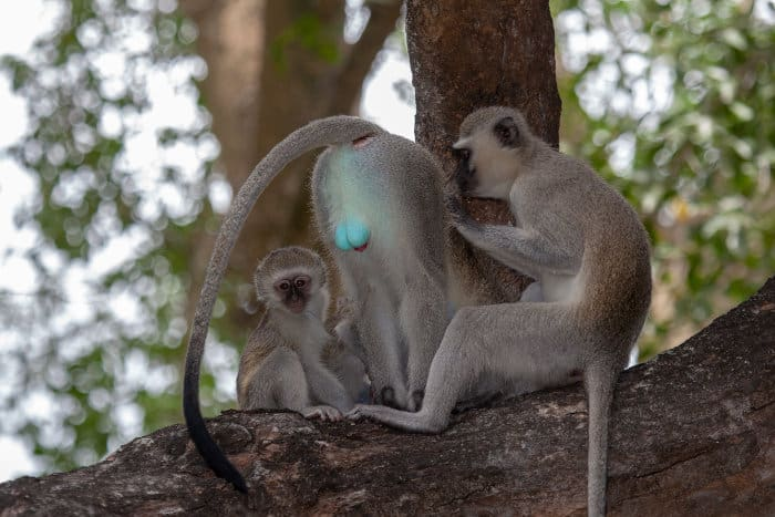 Vervet monkeys grooming each other, one of them showing off its blue balls