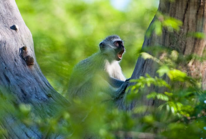 Young vervet monkey in a tree, calling