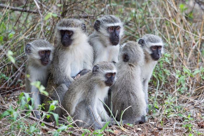 Vervet monkey family portrait