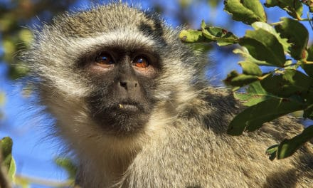 Vervet monkey guide – Protecting a fascinating African primate