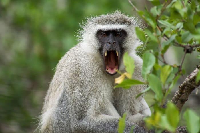 Vervet monkey showing off its teeth