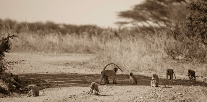 Vervet monkey family relaxing on a road, Masai Mara