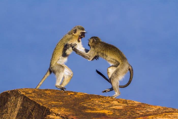 Vervet monkeys arguing on top of a kopje
