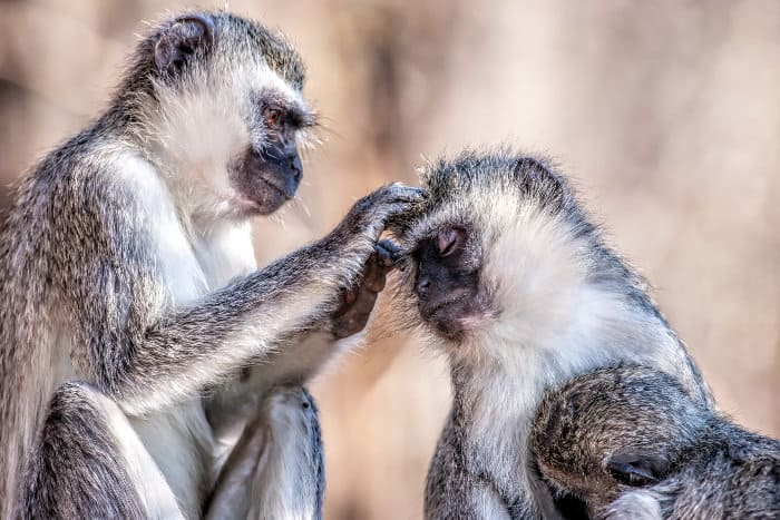 Grooming is a very important part of a vervet monkey's day and they groom for several hours every day
