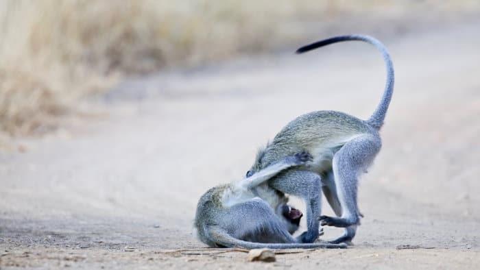 Vervet monkeys pouncing on each other on a dirt path