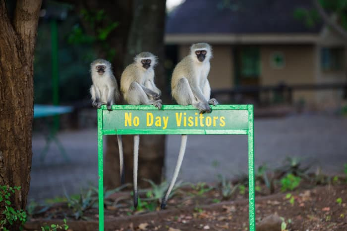 Three vervet monkeys sitting on a 'no day visitors' sign outside a rest camp in Kruger