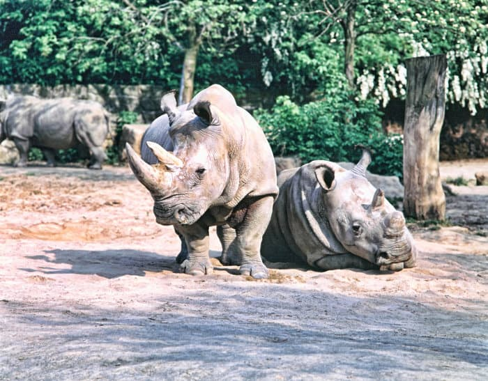 White rhinos in captivity