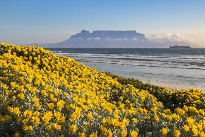 Yellow flower bed on the West Coast of South Africa, with Table Mountain as an idyllic backdrop